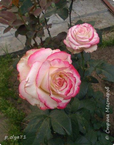 Здравствуйте!!!  Каждое время года хорошо по-своему.. Лето радует нас пестротой, разнообразием красок.. Вот я и любуюсь,любуюсь и любуюсь!..))) Хочу и с вами поделиться частичкой красоты,которую нам дарит природа!  Спасибо ей! фото 3
