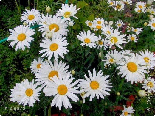 Здравствуйте!!!  Каждое время года хорошо по-своему.. Лето радует нас пестротой, разнообразием красок.. Вот я и любуюсь,любуюсь и любуюсь!..))) Хочу и с вами поделиться частичкой красоты,которую нам дарит природа!  Спасибо ей! фото 20