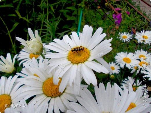 Здравствуйте!!!  Каждое время года хорошо по-своему.. Лето радует нас пестротой, разнообразием красок.. Вот я и любуюсь,любуюсь и любуюсь!..))) Хочу и с вами поделиться частичкой красоты,которую нам дарит природа!  Спасибо ей! фото 12