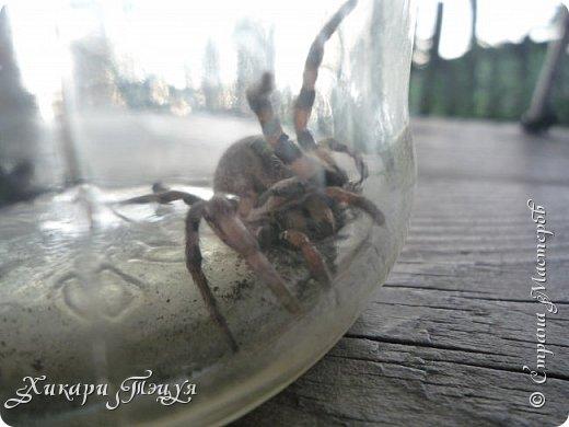 Всем привет))) А я с небольшим количеством фотографий))) Дело было так.............           Нашли мы на огороде паука. Только необычного. Я такого большого никогда не видела. Не знаю как вы, а я нет. Я имею в виду не домашних пауков и не тех, которые в террариуме в зоопарке, а диких, на природе. Размер 3 - 3.5 см., не больше, не меньше. фото 3