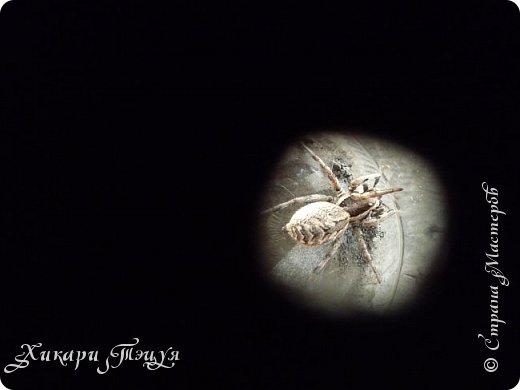 Всем привет))) А я с небольшим количеством фотографий))) Дело было так.............           Нашли мы на огороде паука. Только необычного. Я такого большого никогда не видела. Не знаю как вы, а я нет. Я имею в виду не домашних пауков и не тех, которые в террариуме в зоопарке, а диких, на природе. Размер 3 - 3.5 см., не больше, не меньше. фото 7