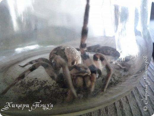 Всем привет))) А я с небольшим количеством фотографий))) Дело было так.............           Нашли мы на огороде паука. Только необычного. Я такого большого никогда не видела. Не знаю как вы, а я нет. Я имею в виду не домашних пауков и не тех, которые в террариуме в зоопарке, а диких, на природе. Размер 3 - 3.5 см., не больше, не меньше. фото 8