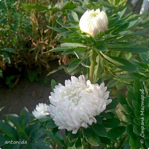 Всем доброго времени суток! Хочу показать результаты наших с мамой трудов на клумбе. Клумбой мы называем цветочный островок на нашем участке. Работаем мы над ней уже 5 год. Постоянно что-то меняем, добавляем. Главная наша цель - цветы должны цвести с весны и до первых заморозков! Это калина в цвету, не совсем цветок, но растёт рядом :) фото 12