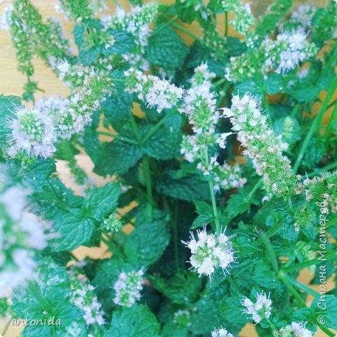 Всем доброго времени суток! Хочу показать результаты наших с мамой трудов на клумбе. Клумбой мы называем цветочный островок на нашем участке. Работаем мы над ней уже 5 год. Постоянно что-то меняем, добавляем. Главная наша цель - цветы должны цвести с весны и до первых заморозков! Это калина в цвету, не совсем цветок, но растёт рядом :) фото 13