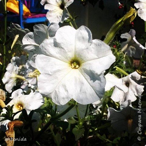 Всем доброго времени суток! Хочу показать результаты наших с мамой трудов на клумбе. Клумбой мы называем цветочный островок на нашем участке. Работаем мы над ней уже 5 год. Постоянно что-то меняем, добавляем. Главная наша цель - цветы должны цвести с весны и до первых заморозков! Это калина в цвету, не совсем цветок, но растёт рядом :) фото 4