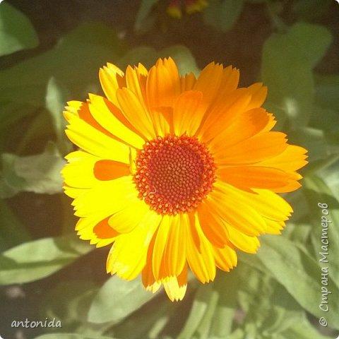 Всем доброго времени суток! Хочу показать результаты наших с мамой трудов на клумбе. Клумбой мы называем цветочный островок на нашем участке. Работаем мы над ней уже 5 год. Постоянно что-то меняем, добавляем. Главная наша цель - цветы должны цвести с весны и до первых заморозков! Это калина в цвету, не совсем цветок, но растёт рядом :) фото 5