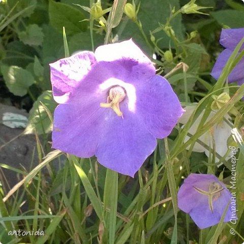 Всем доброго времени суток! Хочу показать результаты наших с мамой трудов на клумбе. Клумбой мы называем цветочный островок на нашем участке. Работаем мы над ней уже 5 год. Постоянно что-то меняем, добавляем. Главная наша цель - цветы должны цвести с весны и до первых заморозков! Это калина в цвету, не совсем цветок, но растёт рядом :) фото 8