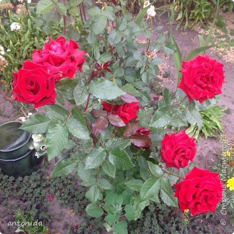 Всем доброго времени суток! Хочу показать результаты наших с мамой трудов на клумбе. Клумбой мы называем цветочный островок на нашем участке. Работаем мы над ней уже 5 год. Постоянно что-то меняем, добавляем. Главная наша цель - цветы должны цвести с весны и до первых заморозков! Это калина в цвету, не совсем цветок, но растёт рядом :) фото 9