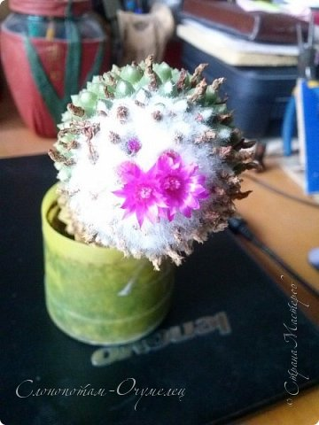Добрый день, Страна! В середине и конце июля продолжалось цветение моих любимых зелёных ёжиков - кактусят. Это Mammillaria polythele var. nudum, цветение 15 июля. фото 1