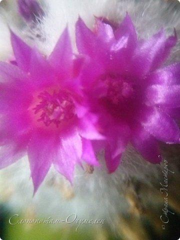 Добрый день, Страна! В середине и конце июля продолжалось цветение моих любимых зелёных ёжиков - кактусят. Это Mammillaria polythele var. nudum, цветение 15 июля. фото 2