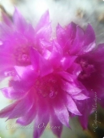 Добрый день, Страна! В середине и конце июля продолжалось цветение моих любимых зелёных ёжиков - кактусят. Это Mammillaria polythele var. nudum, цветение 15 июля. фото 4