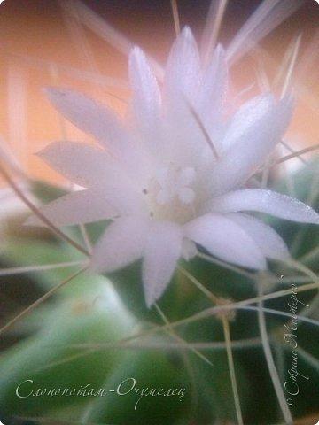 Добрый день, Страна! В середине и конце июля продолжалось цветение моих любимых зелёных ёжиков - кактусят. Это Mammillaria polythele var. nudum, цветение 15 июля. фото 13