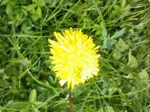 Добрый день, Страна! В середине и конце июля продолжалось цветение моих любимых зелёных ёжиков - кактусят. Это Mammillaria polythele var. nudum, цветение 15 июля. фото 16