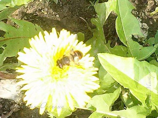 Добрый день, Страна! В середине и конце июля продолжалось цветение моих любимых зелёных ёжиков - кактусят. Это Mammillaria polythele var. nudum, цветение 15 июля. фото 17