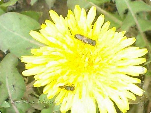 Добрый день, Страна! В середине и конце июля продолжалось цветение моих любимых зелёных ёжиков - кактусят. Это Mammillaria polythele var. nudum, цветение 15 июля. фото 18