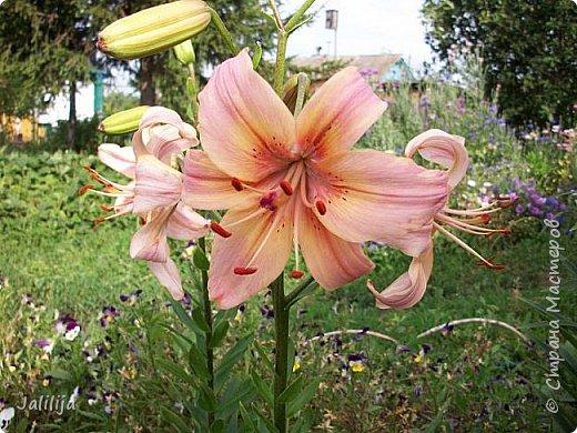 Здравствуйте, все, кто ко мне заглянул.  Сегодня хочу показать вам мои лилии. Их у меня совсем немного.  Но достаточно, чтобы радовать глаз во время цветения. фото 12