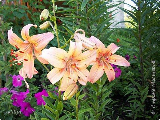 Здравствуйте, все, кто ко мне заглянул.  Сегодня хочу показать вам мои лилии. Их у меня совсем немного.  Но достаточно, чтобы радовать глаз во время цветения. фото 15