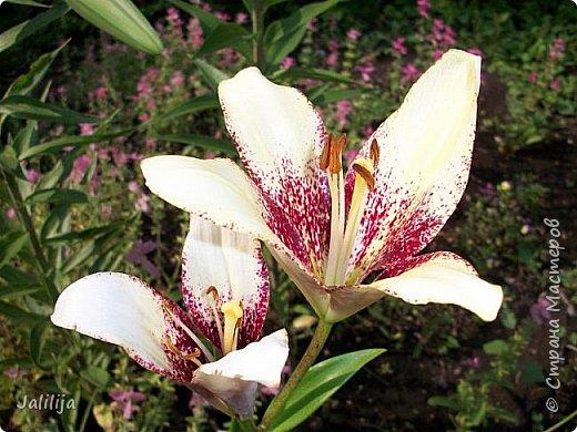 Здравствуйте, все, кто ко мне заглянул.  Сегодня хочу показать вам мои лилии. Их у меня совсем немного.  Но достаточно, чтобы радовать глаз во время цветения. фото 20