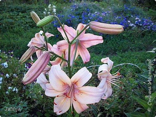 Здравствуйте, все, кто ко мне заглянул.  Сегодня хочу показать вам мои лилии. Их у меня совсем немного.  Но достаточно, чтобы радовать глаз во время цветения. фото 22