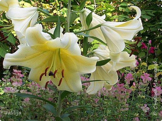 Здравствуйте, все, кто ко мне заглянул.  Сегодня хочу показать вам мои лилии. Их у меня совсем немного.  Но достаточно, чтобы радовать глаз во время цветения. фото 26