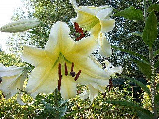 Здравствуйте, все, кто ко мне заглянул.  Сегодня хочу показать вам мои лилии. Их у меня совсем немного.  Но достаточно, чтобы радовать глаз во время цветения. фото 29