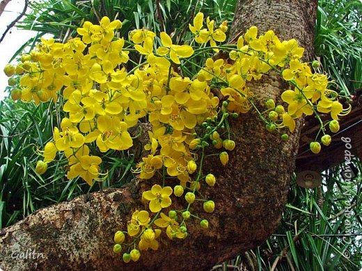 """Всем привет!       На эту работу меня вдохновило чудное дерево Кассия трубчатая.Зрелище, я вам скажу. потрясающее. В конце поста выложу фотку этой красоты. делала по живой веточке. сняла молд и вперёд!        Кассия получила свое название """"Золотой дождь"""" за ниспадающие каскады желтых цветов. Золотые кисти кассии, словно продолжение солнечных лучей, напоминают солнечный ливень. фото 9"""