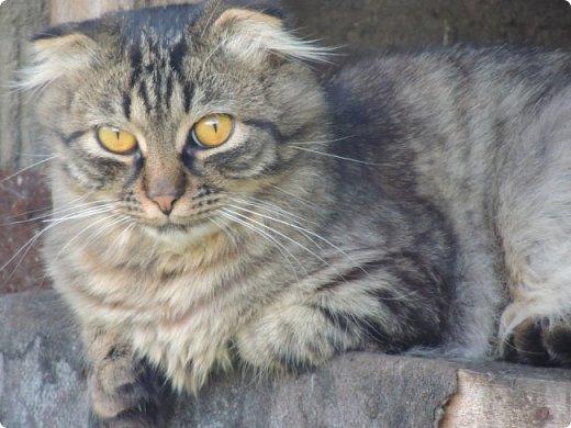 """Здравствуй, СМ! Сегодня я сдаю работу на конкурс """"домашние любимцы"""" ссылка - http://stranamasterov.ru/node/1041678?c=new_675. У меня есть 2 кота и 1 кошка. Она беременная. Скоро  должна окатиться. Коты в общем, уличные, но иногда сидят дома. И так, на первом фото кот Кузя. Кузя у нас чуть меньше пол года. Когда его принесли домой, решили, что он будет домашним и не пускали на улицу. Он был после этого какой-то печальный и постоянно засиживался у окна и мечтал пойти туда, """"в не ведомый край"""". Потом мы решили все-таки выпустить его. Потом он прижился на улице. фото 1"""