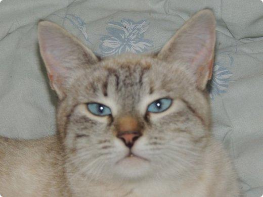 """Здравствуй, СМ! Сегодня я сдаю работу на конкурс """"домашние любимцы"""" ссылка - http://stranamasterov.ru/node/1041678?c=new_675. У меня есть 2 кота и 1 кошка. Она беременная. Скоро  должна окатиться. Коты в общем, уличные, но иногда сидят дома. И так, на первом фото кот Кузя. Кузя у нас чуть меньше пол года. Когда его принесли домой, решили, что он будет домашним и не пускали на улицу. Он был после этого какой-то печальный и постоянно засиживался у окна и мечтал пойти туда, """"в не ведомый край"""". Потом мы решили все-таки выпустить его. Потом он прижился на улице. фото 4"""