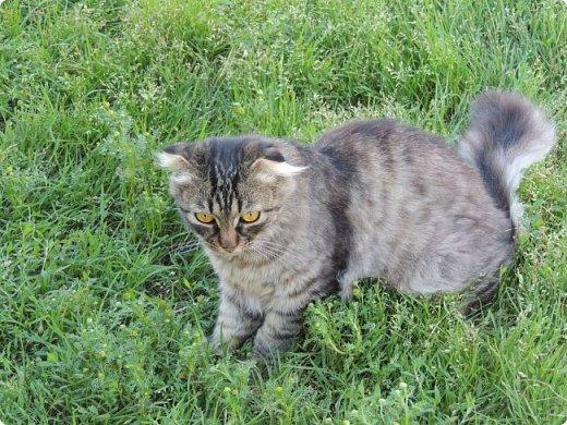 """Здравствуй, СМ! Сегодня я сдаю работу на конкурс """"домашние любимцы"""" ссылка - http://stranamasterov.ru/node/1041678?c=new_675. У меня есть 2 кота и 1 кошка. Она беременная. Скоро  должна окатиться. Коты в общем, уличные, но иногда сидят дома. И так, на первом фото кот Кузя. Кузя у нас чуть меньше пол года. Когда его принесли домой, решили, что он будет домашним и не пускали на улицу. Он был после этого какой-то печальный и постоянно засиживался у окна и мечтал пойти туда, """"в не ведомый край"""". Потом мы решили все-таки выпустить его. Потом он прижился на улице. фото 5"""