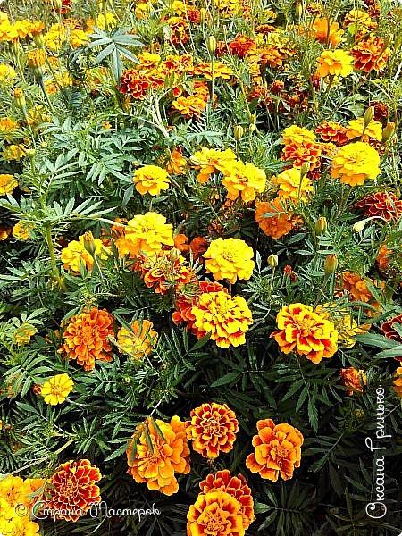 Добрый день Всем. Вот такое разнообразие бархатцев цветет у меня в саду. фото 11