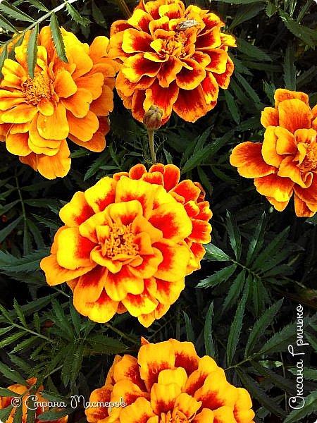 Добрый день Всем. Вот такое разнообразие бархатцев цветет у меня в саду. фото 12