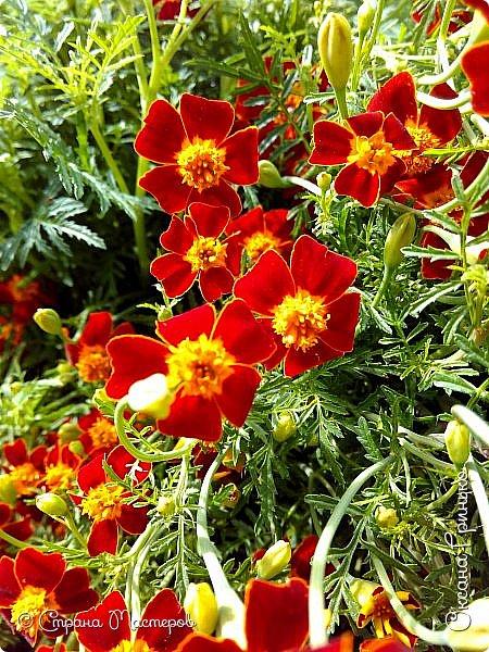 Добрый день Всем. Вот такое разнообразие бархатцев цветет у меня в саду. фото 9