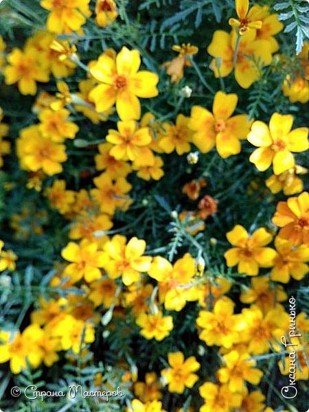 Добрый день Всем. Вот такое разнообразие бархатцев цветет у меня в саду. фото 8