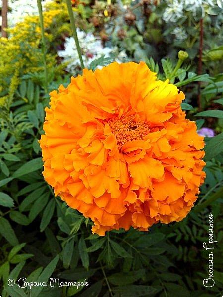 Добрый день Всем. Вот такое разнообразие бархатцев цветет у меня в саду. фото 10