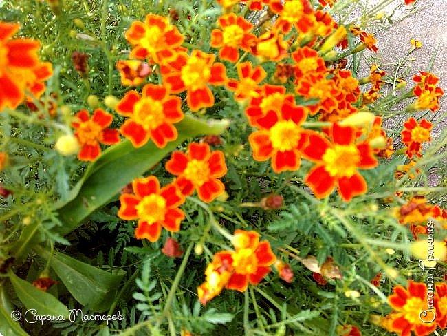 Добрый день Всем. Вот такое разнообразие бархатцев цветет у меня в саду. фото 7