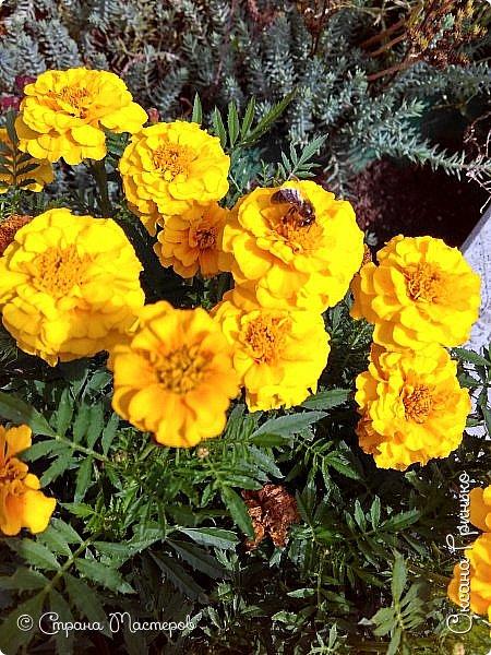 Добрый день Всем. Вот такое разнообразие бархатцев цветет у меня в саду. фото 6