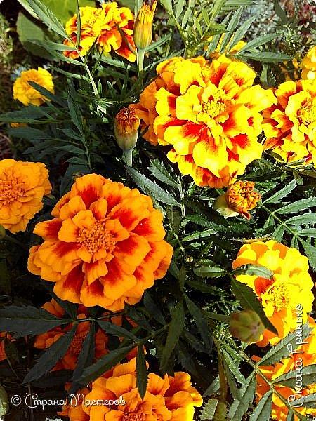 Добрый день Всем. Вот такое разнообразие бархатцев цветет у меня в саду. фото 5