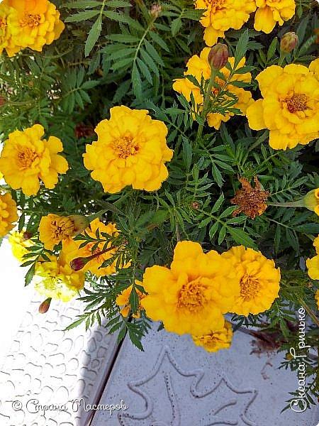 Добрый день Всем. Вот такое разнообразие бархатцев цветет у меня в саду. фото 4