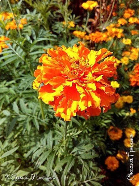 Добрый день Всем. Вот такое разнообразие бархатцев цветет у меня в саду. фото 3