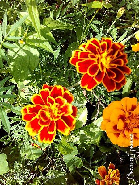 Добрый день Всем. Вот такое разнообразие бархатцев цветет у меня в саду. фото 2