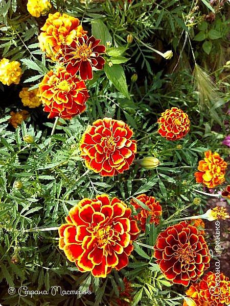 Добрый день Всем. Вот такое разнообразие бархатцев цветет у меня в саду. фото 1