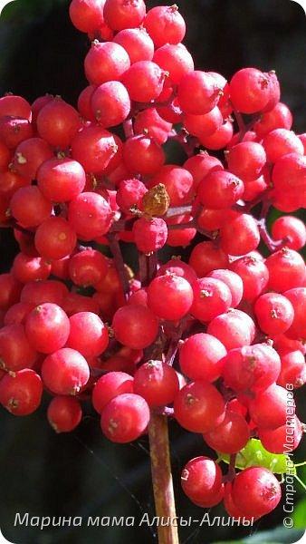"""Лето....... Оно состоит из маленьких кусочков счастья...... Красивые ягоды, а на них клоп)) p.s. узнала, как называются эти ягоды:"""" бузина красная (Sambucus racemosa), которая цветет в апреле – мае зеленовато-желтыми цветами. Плоды вызревают в июле-августе. Особого желания попробовать они не вызывают. Хотя о вкусах не спорят. Употребление ягод бузины красной может cпровоцировать рвоту, а в большом количестве – судороги и отравление.  http://www.park-kosa.ru/cn_o_parke/publikatsii/?ELEMENT_ID=29359 """" фото 1"""