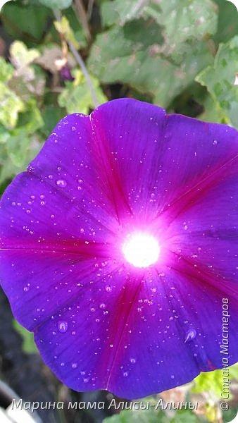 """Лето....... Оно состоит из маленьких кусочков счастья...... Красивые ягоды, а на них клоп)) p.s. узнала, как называются эти ягоды:"""" бузина красная (Sambucus racemosa), которая цветет в апреле – мае зеленовато-желтыми цветами. Плоды вызревают в июле-августе. Особого желания попробовать они не вызывают. Хотя о вкусах не спорят. Употребление ягод бузины красной может cпровоцировать рвоту, а в большом количестве – судороги и отравление.  http://www.park-kosa.ru/cn_o_parke/publikatsii/?ELEMENT_ID=29359 """" фото 9"""