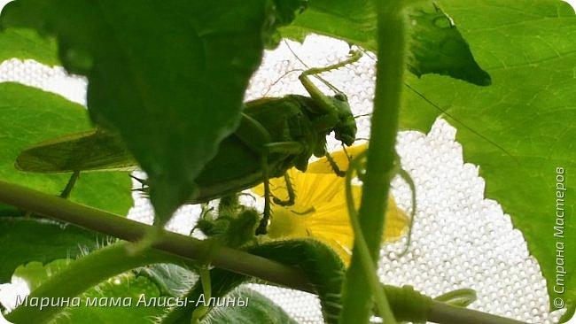 """Лето....... Оно состоит из маленьких кусочков счастья...... Красивые ягоды, а на них клоп)) p.s. узнала, как называются эти ягоды:"""" бузина красная (Sambucus racemosa), которая цветет в апреле – мае зеленовато-желтыми цветами. Плоды вызревают в июле-августе. Особого желания попробовать они не вызывают. Хотя о вкусах не спорят. Употребление ягод бузины красной может cпровоцировать рвоту, а в большом количестве – судороги и отравление.  http://www.park-kosa.ru/cn_o_parke/publikatsii/?ELEMENT_ID=29359 """" фото 13"""