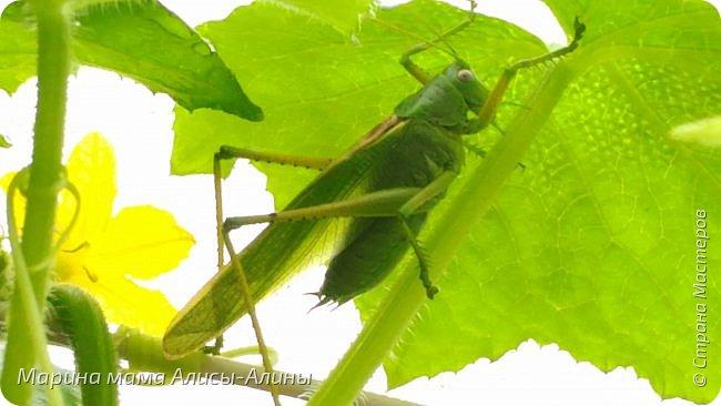 """Лето....... Оно состоит из маленьких кусочков счастья...... Красивые ягоды, а на них клоп)) p.s. узнала, как называются эти ягоды:"""" бузина красная (Sambucus racemosa), которая цветет в апреле – мае зеленовато-желтыми цветами. Плоды вызревают в июле-августе. Особого желания попробовать они не вызывают. Хотя о вкусах не спорят. Употребление ягод бузины красной может cпровоцировать рвоту, а в большом количестве – судороги и отравление.  http://www.park-kosa.ru/cn_o_parke/publikatsii/?ELEMENT_ID=29359 """" фото 14"""