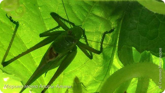 """Лето....... Оно состоит из маленьких кусочков счастья...... Красивые ягоды, а на них клоп)) p.s. узнала, как называются эти ягоды:"""" бузина красная (Sambucus racemosa), которая цветет в апреле – мае зеленовато-желтыми цветами. Плоды вызревают в июле-августе. Особого желания попробовать они не вызывают. Хотя о вкусах не спорят. Употребление ягод бузины красной может cпровоцировать рвоту, а в большом количестве – судороги и отравление.  http://www.park-kosa.ru/cn_o_parke/publikatsii/?ELEMENT_ID=29359 """" фото 16"""