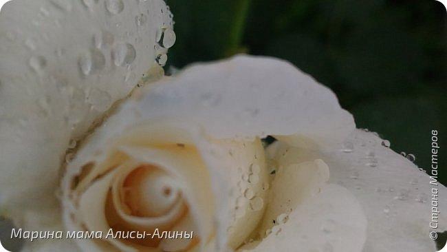 """Лето....... Оно состоит из маленьких кусочков счастья...... Красивые ягоды, а на них клоп)) p.s. узнала, как называются эти ягоды:"""" бузина красная (Sambucus racemosa), которая цветет в апреле – мае зеленовато-желтыми цветами. Плоды вызревают в июле-августе. Особого желания попробовать они не вызывают. Хотя о вкусах не спорят. Употребление ягод бузины красной может cпровоцировать рвоту, а в большом количестве – судороги и отравление.  http://www.park-kosa.ru/cn_o_parke/publikatsii/?ELEMENT_ID=29359 """" фото 21"""