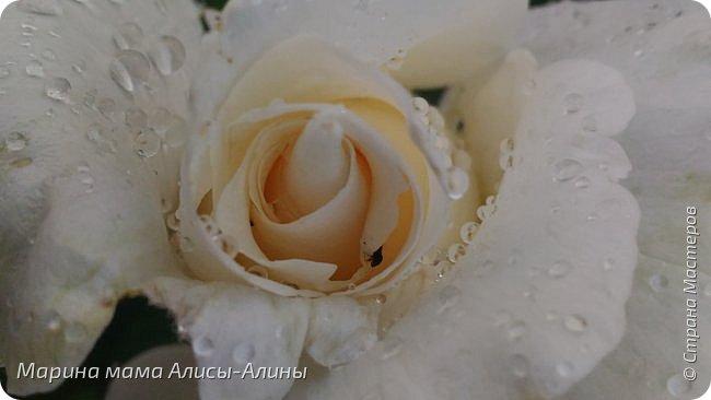 """Лето....... Оно состоит из маленьких кусочков счастья...... Красивые ягоды, а на них клоп)) p.s. узнала, как называются эти ягоды:"""" бузина красная (Sambucus racemosa), которая цветет в апреле – мае зеленовато-желтыми цветами. Плоды вызревают в июле-августе. Особого желания попробовать они не вызывают. Хотя о вкусах не спорят. Употребление ягод бузины красной может cпровоцировать рвоту, а в большом количестве – судороги и отравление.  http://www.park-kosa.ru/cn_o_parke/publikatsii/?ELEMENT_ID=29359 """" фото 20"""