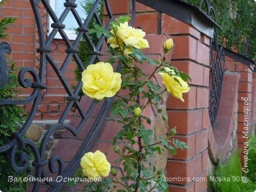 Приветствую  Вас , дорогие  гости  моей  странички,  дорогие  мои  подружки !   Что  дало  нам  это  лето ?  Конечно  же  ароматы  летних  цветов  и  любование  ими !    Я  с  удовольствием  делюсь  с  Вами  ! фото 40