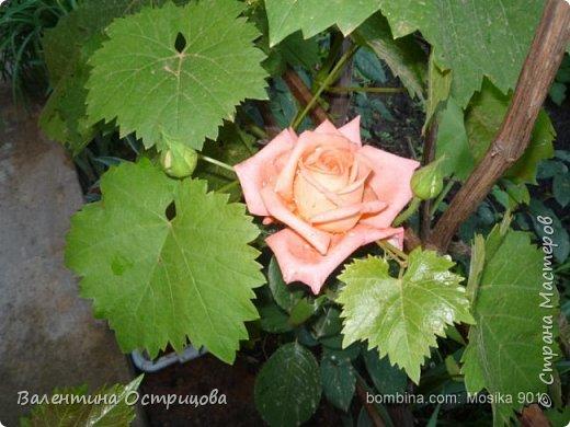 Приветствую  Вас , дорогие  гости  моей  странички,  дорогие  мои  подружки !   Что  дало  нам  это  лето ?  Конечно  же  ароматы  летних  цветов  и  любование  ими !    Я  с  удовольствием  делюсь  с  Вами  ! фото 34